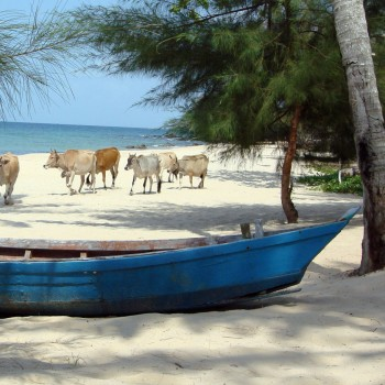 cattle on beach at Phu Quoc